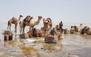 kamelen Afar