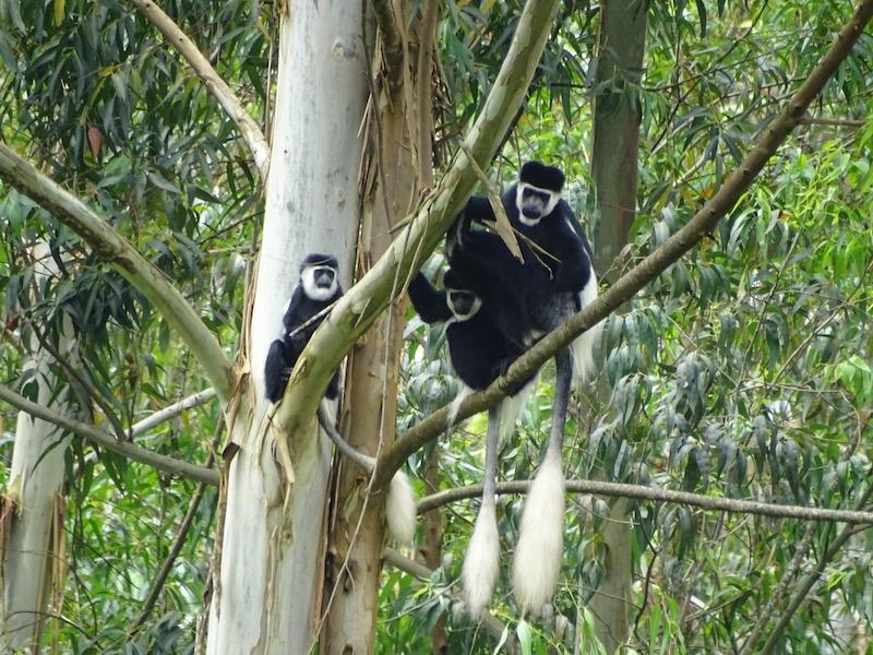 Colobus apen Ethiopie