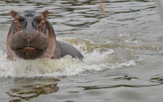 Nijlpaard Awassa